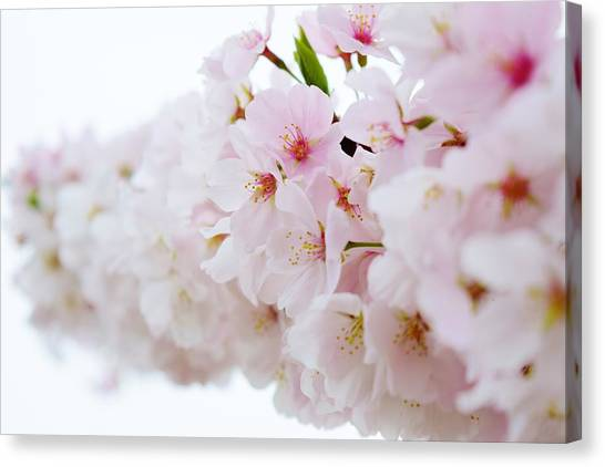 Cherry Blossom Focus Canvas Print