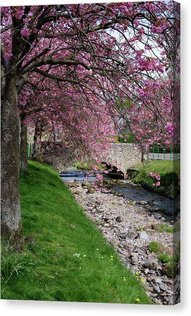 Canvas Print featuring the photograph Cherry Blossom In Central Scotland by Jeremy Lavender Photography