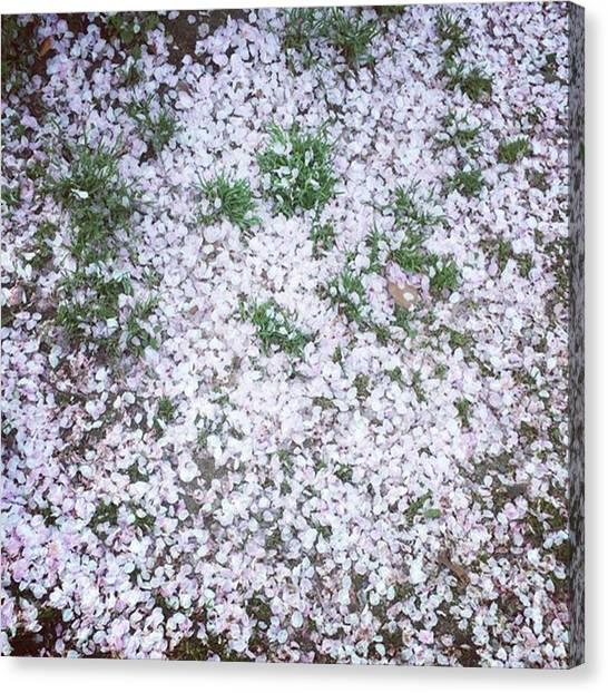 Kenyan Canvas Print - Cherry Blossom Petals by Kenya Multipotentialite