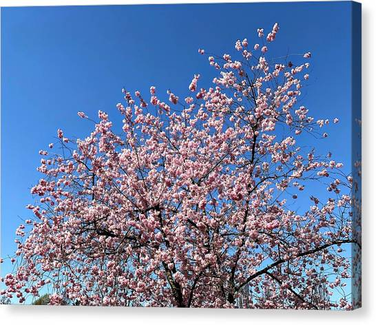 Berries Canvas Print - Cherry Blossom Pink And Blue Spring Colors by Matthias Hauser