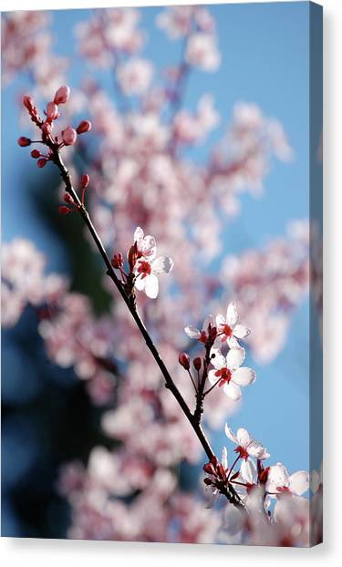 Cherry Blossom Canvas Print by Samantha Kimble