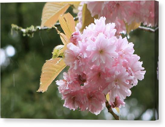 Canvas Print featuring the photograph Cherry Blossom Secrets by Brandy Little