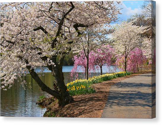 Cherry Blossom Trees Of Branch Brook Park 17 Canvas Print