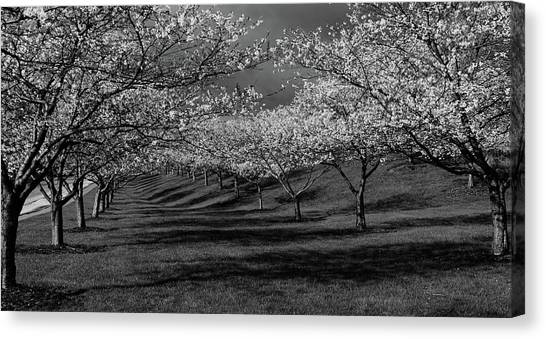Cherry Blossoms 1 Canvas Print