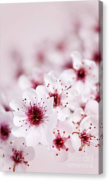 Orchard Canvas Print - Cherry Blossoms by Elena Elisseeva