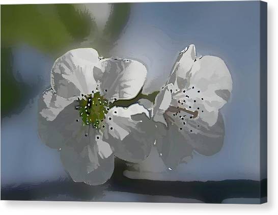 Cherry Blossoms Canvas Print by Marti Buckely