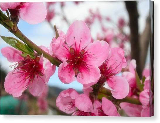 Oyama Canvas Print - Cherry Blossoms by Tiffany Vest