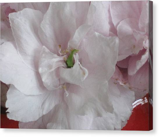 Cherry Blossum Close Up Canvas Print