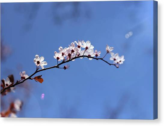 Canvas Print featuring the photograph Cherry Flowers With Lens Flare by Helga Novelli