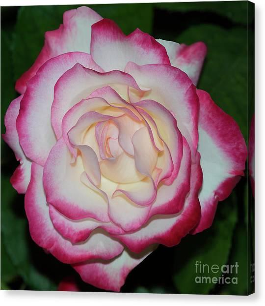 Cherry Parfait Rose 1 Canvas Print