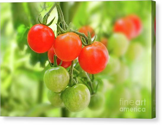 Cherry Tomato Canvas Print - Cherry Tomatoes by Delphimages Photo Creations