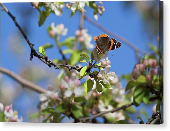 Monarch Butterfly On Cherry Tree Canvas Print