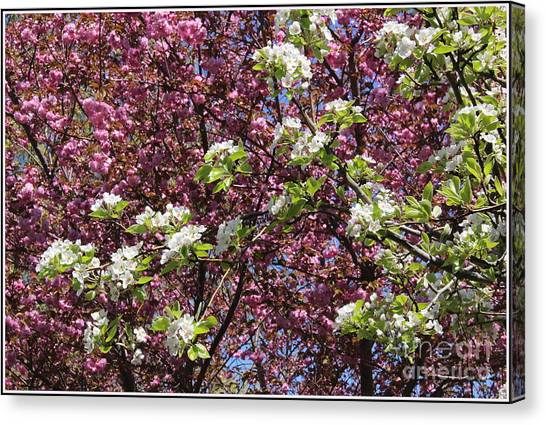 Cherry Tree And Pear Blossoms Canvas Print