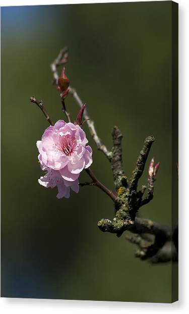 Cherry Tree Bloosom Canvas Print by Alexander Rozinov