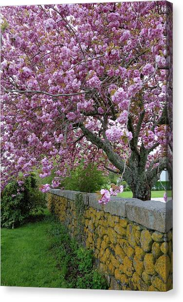 Cherry Tree, Cape Cod Canvas Print