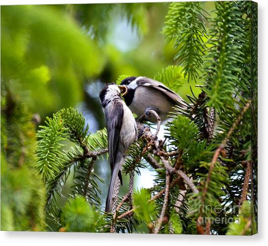 Chickadee Feeding Time Canvas Print