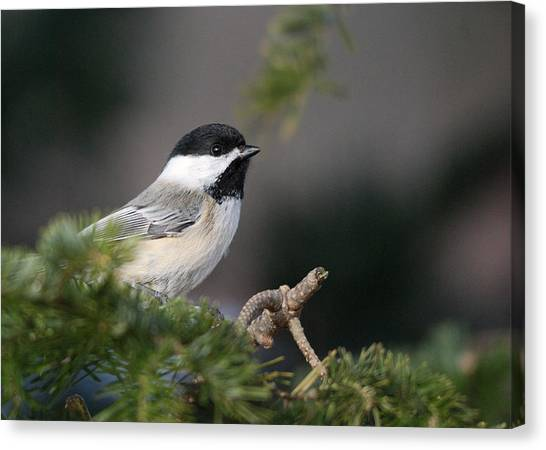 Chickadees Canvas Print - Chickadee In Balsam Tree by Susan Capuano