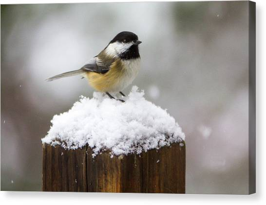 Chickadee In The Snow Canvas Print