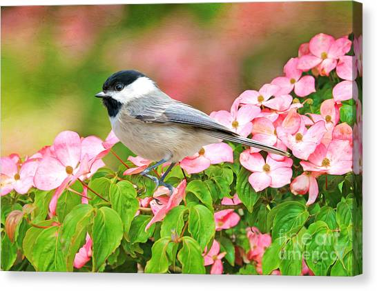 Chickadees Canvas Print - Chickadee On Dogwood by Laura D Young