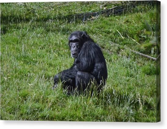 Apes Canvas Print - Chimp  by Chris Kincaid