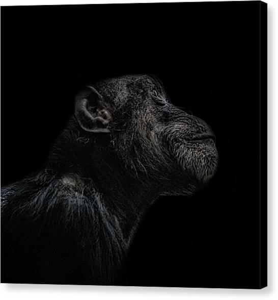 Chimpanzees Canvas Print - Chimp Thinking by Martin Newman