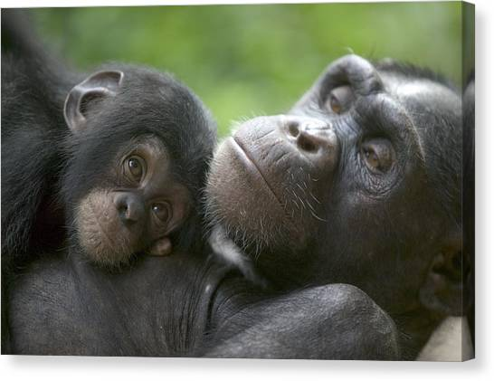 Nigeria Canvas Print - Chimpanzee Mother And Infant by Cyril Ruoso
