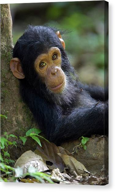 Canvas Print featuring the photograph Chimpanzee Pan Troglodytes Baby Leaning by Ingo Arndt