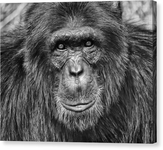Ape Canvas Print - Chimpanzee Portrait 1 by Richard Matthews