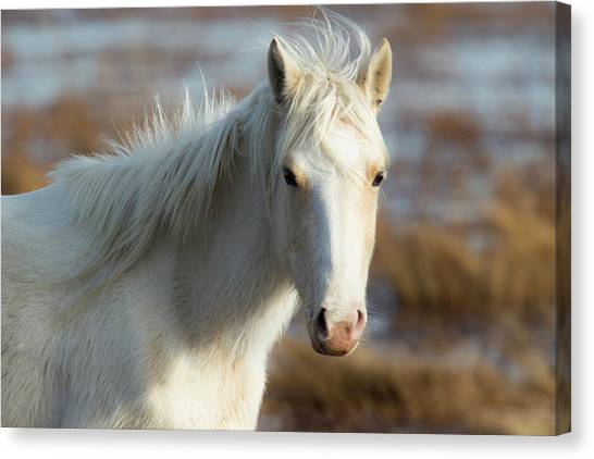 Chincoteague White Pony Canvas Print
