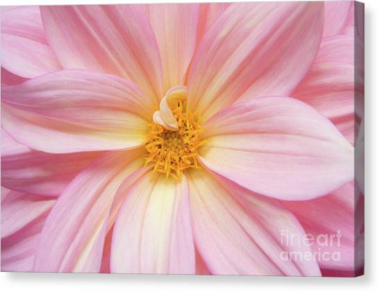 Chinese Chrysanthemum Flower Canvas Print by Julia Hiebaum