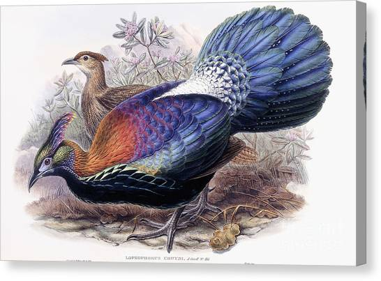 Pheasants Canvas Print - Chinese Monal, Pheasant by English School