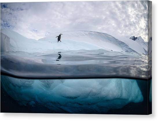 Penguins Canvas Print - Chinstrap Landscape by Justin Hofman