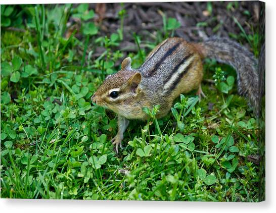Chipmunk Canvas Print by Edward Myers