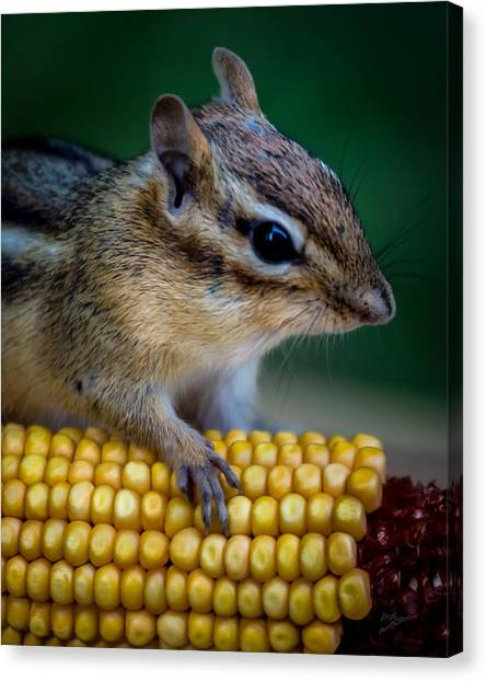 Chipmunk Goes Wild For Corn Canvas Print