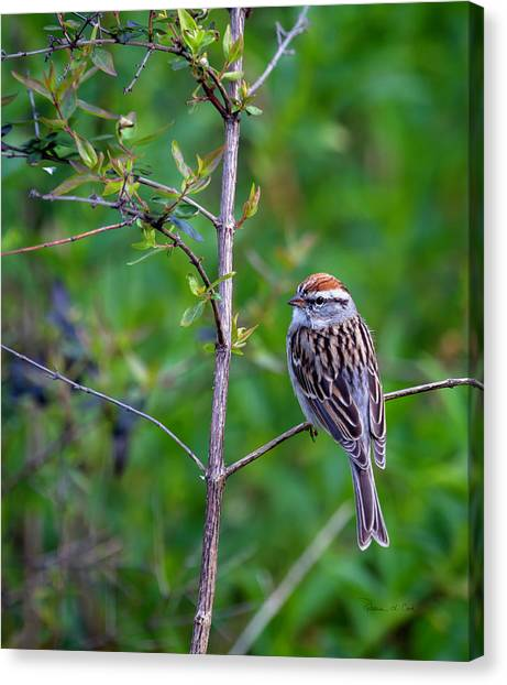 Chipping Sparrow Canvas Print
