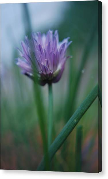 Chive Flower 2 Canvas Print by Lisa Gabrius