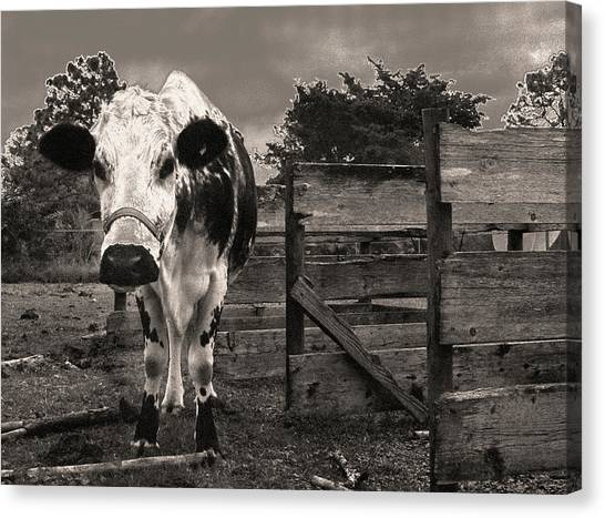 Canvas Print featuring the photograph Chocolate Chip At The Stables by T Brian Jones