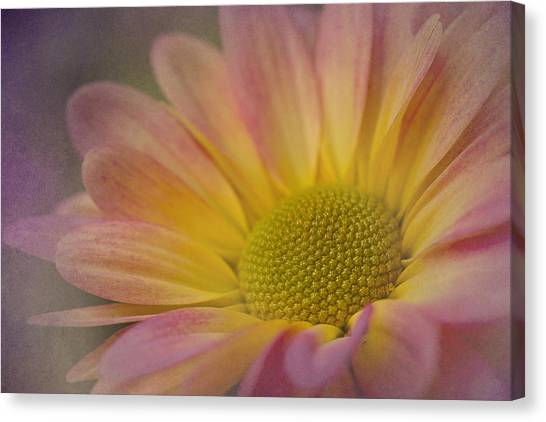 Chrysanthemum 3 Canvas Print