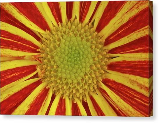 Chrysanthemum Close-up Canvas Print