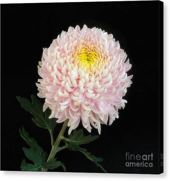 Chrysanthemum 'otome Pink' Canvas Print