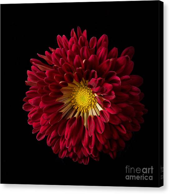 Chrysanthemum 'red Wing' Canvas Print