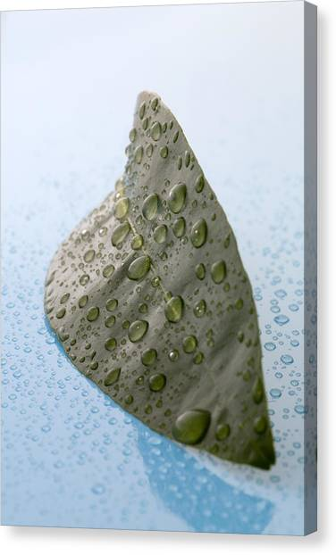 Citrus Leaf Canvas Print by Frank Tschakert