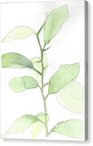 Citrus Sapling Canvas Print