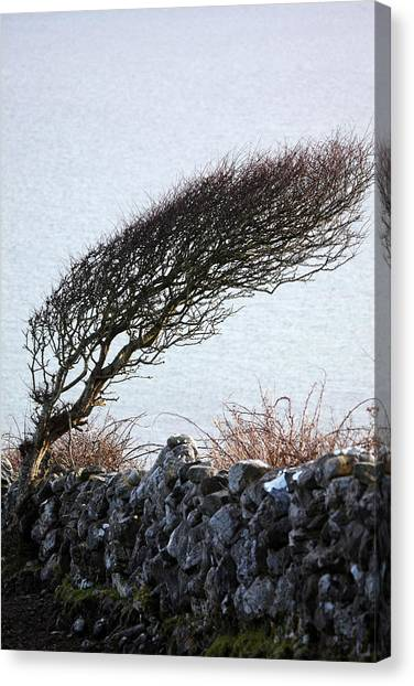 Clare Coast Tree Canvas Print by Tom  Doherty