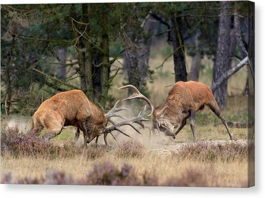 Clash Of The Titans Canvas Print by Roelof Janssens