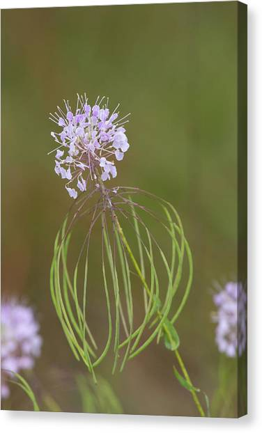 Clasping Warea Canvas Print