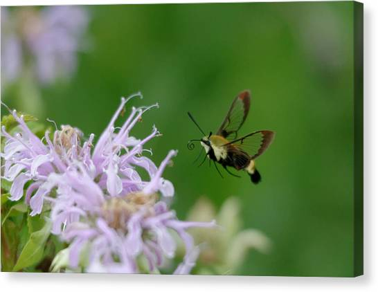 Clearwing Moth Canvas Print
