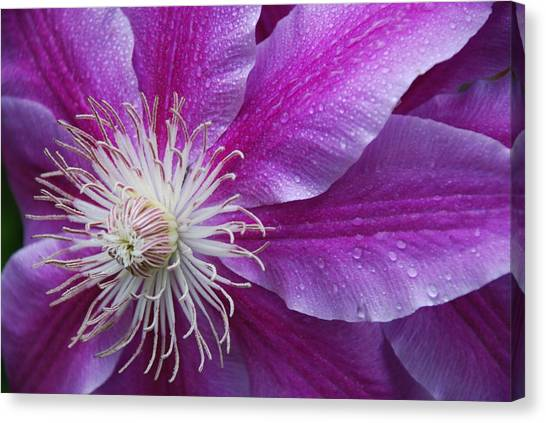 Clematis 101 Canvas Print by William Thomas