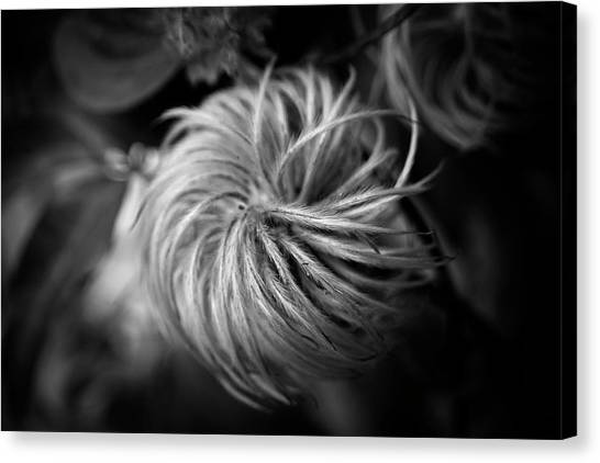 Clematis Seed Head In Black And White Canvas Print