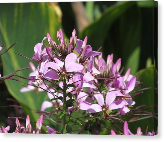 Kent State University Canvas Print - Cleome Hassleriana by M E Cieplinski